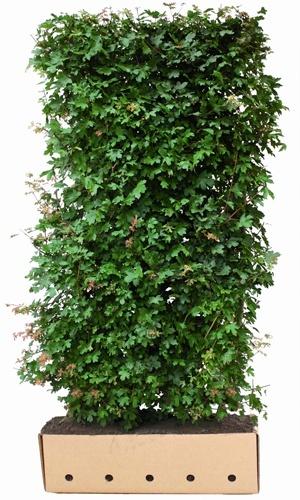 Żywopłot Acer campestre (Klon Polny)