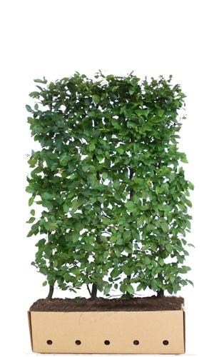 Carpinus betulus 150cm