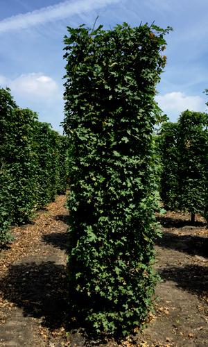 Drzewo formowane Acer campestre 250 cm