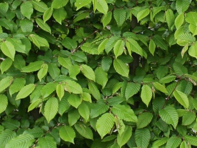 Drzewo formowane Carpinus betulus
