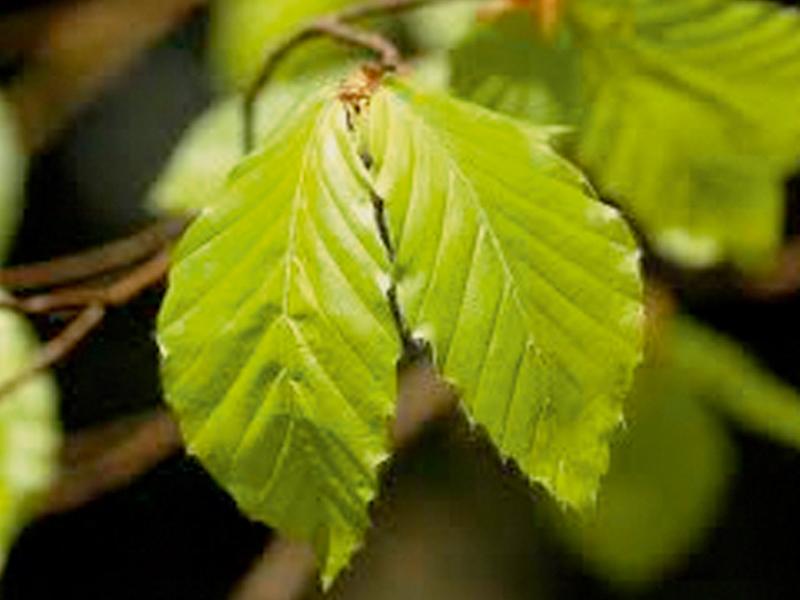 Drzewo formowane Fagus sylvatica