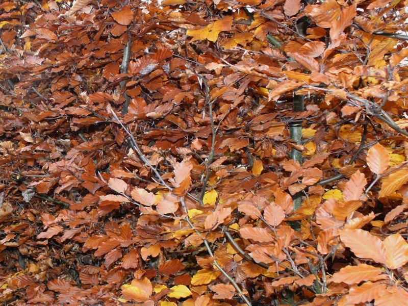 Drzewo formowane Fagus sylvatica Atropunicea