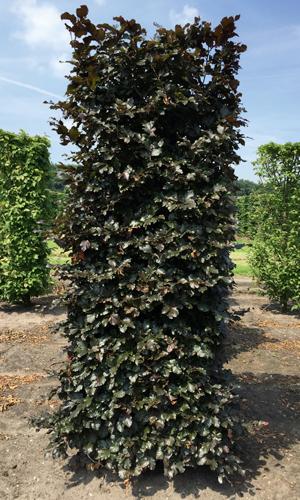 Drzewo formowane Fagus sylvatica Atropunicea 250cm