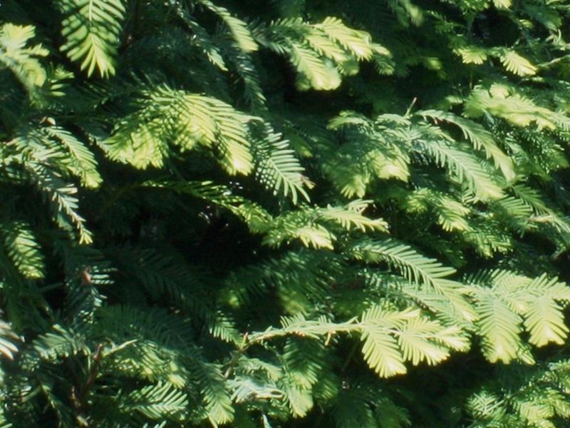 Drzewo formowane Metasequoia glyptostroboides