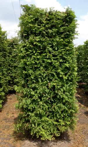 Drzewo formowane Metasequoia glyptostroboides 250 cm