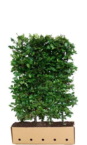 Fagus sylvatica 150cm