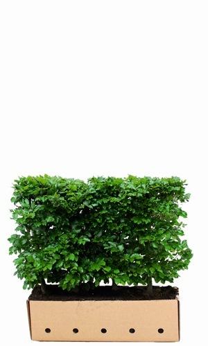 Fagus sylvatica 80cm