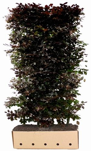 Fagus sylvatica Atropunicea 200 cm