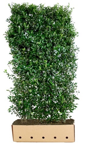 Ilex meserveae Heckenpracht 200 cm