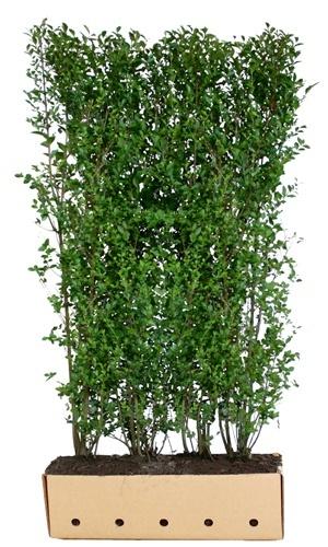 Ligustrum ovalifolium 180 cm