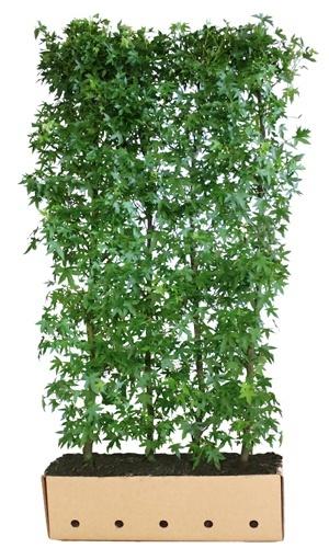 Liquidambar styraciflua Worplesdon 200 cm