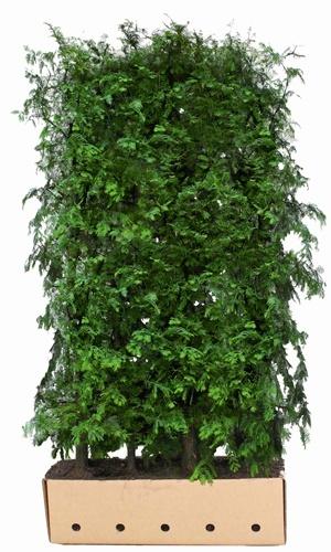 Metasequoia glytostroboides 200 cm