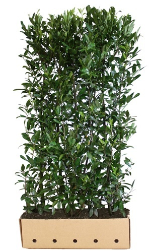 Prunus laurocerasus Caucasica 200 cm