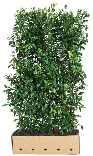 Prunus laurocerasus Herbergii 200 cm