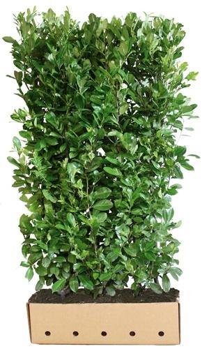 Prunus laurocerasus Rotundifolia 200 cm