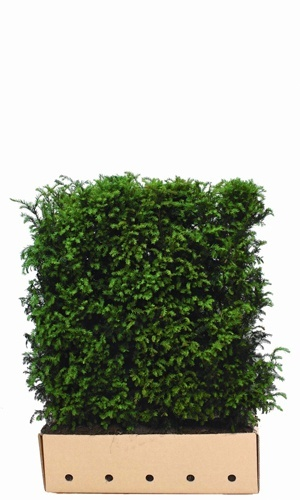Taxus baccata 120 cm