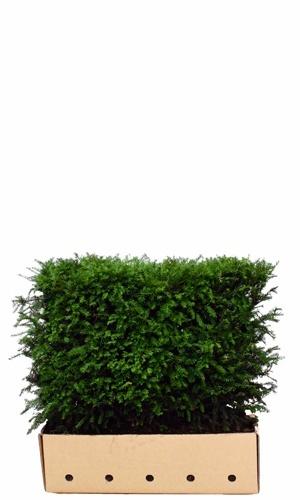 Taxus baccata 80 cm