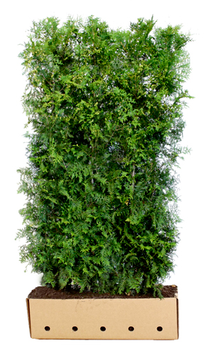 Thuja occidentalis Brabant 200 cm
