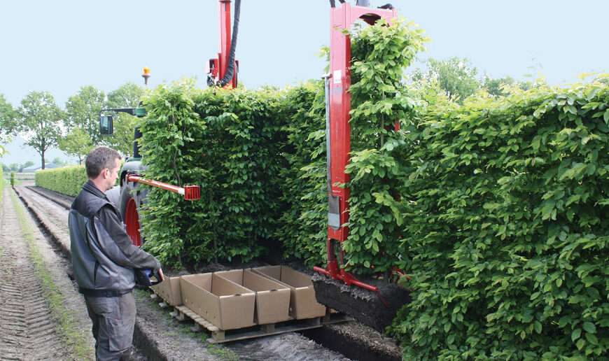 Proces sadzenia gotowych żywopłotów