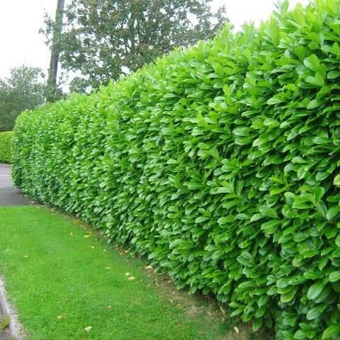Ywop oty zimozielone idealne planuj c ogrodzenie for Hearty ornamental grasses