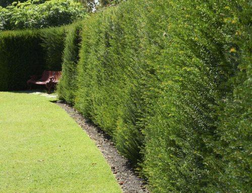 Żywopłoty zimozielone – idealne planując ogrodzenie