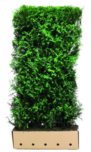 Thuja plicata Excelsa 200cm